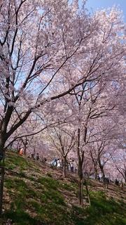 写真1_桜.JPG
