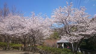 真光寺公園の桜